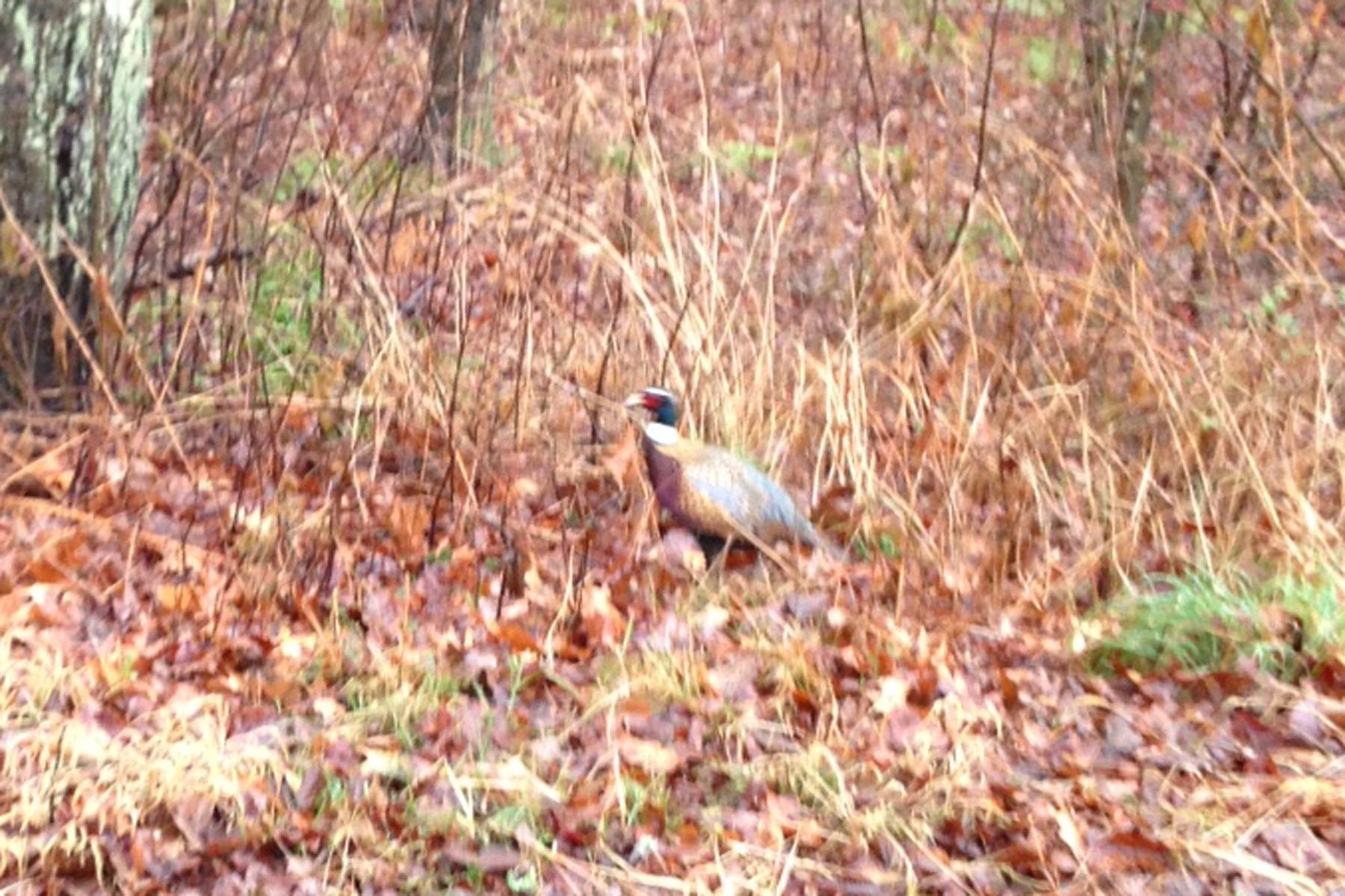 pheasants2