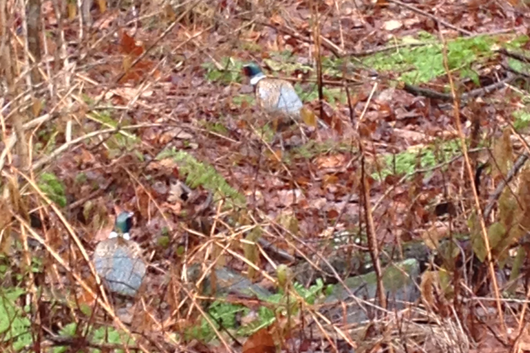 pheasants3