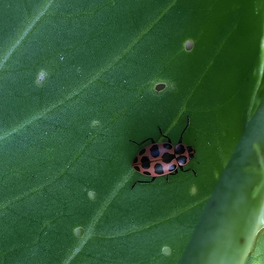 07242016 (Coleomegilla maculata)